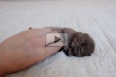 Itty Bitty Ball Of Cute - Love Meow