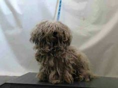 1/27/16 RTO'D MILLIE #A635755 aka Maddie (1/15) OPCA confirmed she is Safe, hope this is a good thing 1/19 OPCA IS CHECKING NLL 1/15/16 MILLIE AKA MADDIE #A635755 little 4YO Raggedy Girl what a beauty was hiding under her mop of matted fur (see new pic on thread) Found in Ventura walking around with a cat. Please Share for Foster, Rescue or Adopter & Pledges.The cat is at the shelter too need ID# & Bio to share, help? Millie is a unspayed fem, whtPoodle Min mix at Ventura County AC since…
