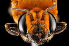 The colors of America's native bees are incredibly diverse.