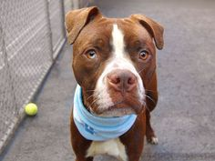 TO BE DESTROYED SAT,  06/07/14  Manhattan Center -P   DAVID. My Animal ID # is A1001624.  I am a male brown and white pit bull mix. The shelter thinks I am about 3 YEARS old.  STRAY 5/31/14~Volunteer says:  He walks like a dream, very calm and so easy to handle. While he's a little timid with touch at times, David enjoys my petting and will come when called. Likes other dogs. So if unconditional love from a pouty face boy is what you need in your life, then David is the dog you are looking…