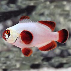 Gold Nugget Maroon Clownfish (Premnas biaculeatus)