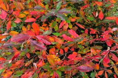 #Fall Colors are here! No #photoshop needed. #morningwalk #millburnnj Photoshop, Marketing, Colors, Lady, Modern, Plants, Pictures, Painting, Travel
