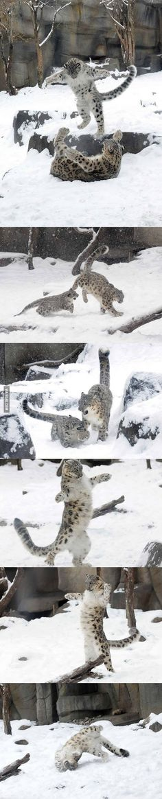 A six month old snow leopard and his mom playing in the snow.