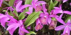 Jak pěstovat venkovní orchideje – Pleione Gladiolus, December 25, Pesto, Orchids, Plants, Garden, Lilies, Plant, Orchid