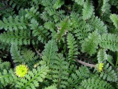 Leptinella Information: Tips On Growing Brass Buttons In Gardens - Brass buttons is the common name given to the plant Leptinella squalida. This very low growing, vigorously spreading plant is a good choice for rock gardens, the spaces between flagstones, and lawns where turf won't grow. Click here to learn more.