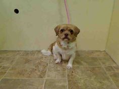 SAFE - 07/29/15 - ARIEL – #A1039106 - Urgent Manhattan - **RETURNED 07/24/15** - SPAYED FEMALE TAN AND WHITE PUG/SHIH TZU, 5 Yrs - OWNER SUR - EVALUATE, HOLD FOR ID - Intake Date - 07/24/15