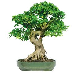 Great for my ficus Bonsai !   How to Take Care of Ficus Tree (Bonsai)