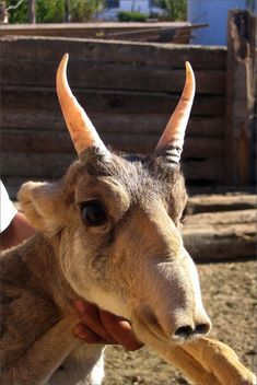 Bizzare Animal Creatures That Actually Exist.  This is a saiga antelope - weird but cute!