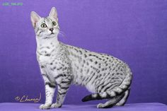 In fact, the Egyptian Mau is the fastest cat breed. Description from quazoo.com. I searched for this on bing.com/images