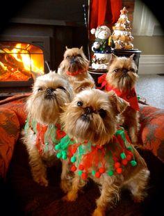 Christmas Brussells Griffon