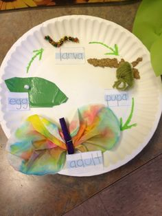 Life cycle of a butterfly (on a plate!)