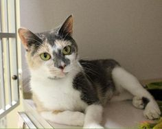 Cat ready for adoption: Calico / Domestic Short Hair (short coat) named Melody in Paris, ME