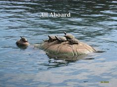 EVERYBODY ON. Mama turtle with babies on her back.