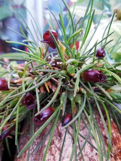 Orchid Maxillaria spegazziniana