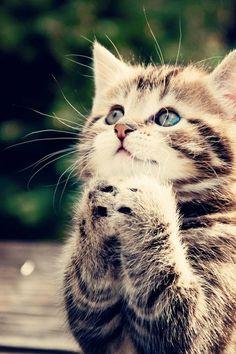 praying cat cat.
