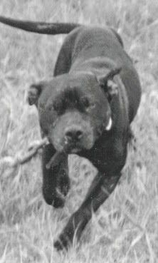 APBT Stories Archives ⋆ Page 8 of 30 ⋆ GrandChamp - American Pitbull Terrier History Bull Terrier Dog, Terriers, Dog Corner, Basic Dog Training, American Pitbull, Real Dog, Bully Dog, Dog Games, Hunting Dogs