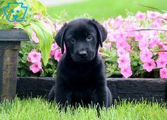 Tango | Labrador Retriever - Black Puppy For Sale | Keystone Puppies Black Puppy, Black Lab Puppies, Puppies For Sale, Tango, Labrador Retriever, Dogs, Animals, Labrador Retrievers, Animales