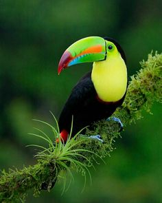 Keel billed toucan - Costa Rica - Boca Tapada by Gerardo Colaleo Tropical Birds, Exotic Birds, Colorful Birds, Pretty Birds, Beautiful Birds, Animals Beautiful, Animals And Pets, Cute Animals, Inspiration Tattoos