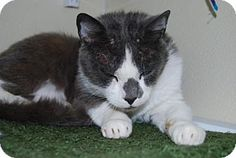 Washougal, WA - Domestic Shorthair. Meet Franc, a cat for adoption. http://www.adoptapet.com/pet/11752486-washougal-washington-cat