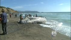 A dead humpback whale washed onto a beach in Pacifica. (CBS)