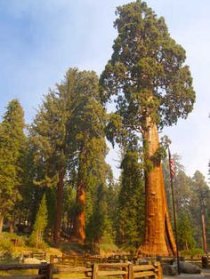 Photo about The Sentinel, a giant sequoia in Sequoia National Park. Image of sequoia, giant, fence - 3920201 Sequoia Forest, Giant Sequoia Trees, Tree Logs, Old Trees, Sequoia National Park, National Parks, Sequoiadendron Giganteum, Weird Trees, Tree Tunnel
