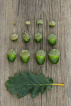 Oak fruit (acorn)