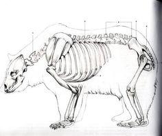 Grizzly bear vs prehistoric bears in Prehistoric Animals Forum Cat Anatomy, Animal Anatomy, Animal Sketches, Animal Drawings, Urso Bear, Skeleton Anatomy, Skeleton Drawings, Animal Skeletons, Bear Drawing