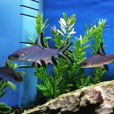 """Sights in Aquarium Adventure; I've always thought Bala sharks are just striking. These peaceful freshwater fish like to school in groups of three or more. They can be jumpers so make sure to have a lid on their tank; they can also grow up to 14"""". #AquariumAdventure #balashark #freshwater"""