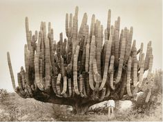 The French naturalist and historian Leon Diguet realized six scientific expeditions in Mexico between 1893 and 1913... With a few prints in the world, this picture offers a spectacular example of a species of cacti: the Giant Cardon, about 8 meters high and about 10 tons.