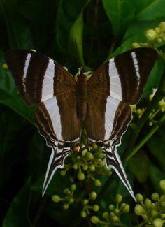 Mariposa Marpesia Orsilochus
