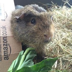 To eat or not to eat? That is the question. Rolf is keeping me on my toes this week. #guineapig #vetvisits #sheltersponsoredbyamazon