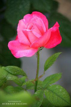 """""""Pink Rose""""*-*."""