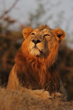 Asiatic Lion, Gir National Park at Gujarat in India I Love Cats, Big Cats, Judah And The Lion, Asiatic Lion, National Geographic Animals, Like A Lion, Mountain Lion, Wild Creatures, Zoology