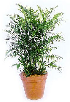 bamboepalm Chamaedorea seifrizii, luchtzuivering