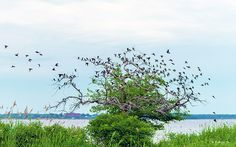 A nature image of a tree with lots of character, full of perched birds along the coast of the Chesapeake Bay. The image was capture at Fort Smallwood Park in Pasadena, Maryland.