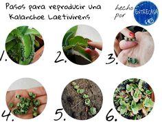 APRENDÉ A REPRODUCIR  Te gustan las #suculentas?  La especie #Kalanchoe Laetivirens es un tipo de suculenta de muy fácil propagación.  Acá los pasos para tener un #jardín deccorado por esta belleza:  1. Elegir una Kalanchoe Laetivirens que haya dado hijos es decir que los bordes de sus hojas se vean como en la foto.  2. Con cuidado los tomamos.  3. Al sacarlos es posible que notemos que algunos ya tienen raíz mejor!!!! 4. Tomamos todos los #esquejes sin descartar ninguno.  5. Los plantamos…