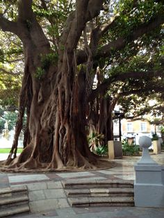 Amazing trees in a plaza in Alicante.