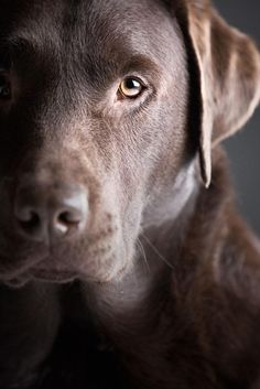 Beautiful mature chocolate #Lab...found on fundogpics.com