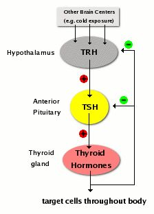 66 best pituitary images on pinterest endocrine system brain part of the hypothalamic pituitary thyroid axis and control of thyroid hormone secretion is exerted by classical negative feedback ccuart Images