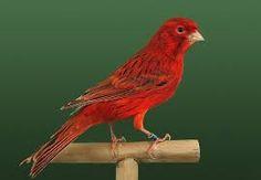 Resultado de imagen para canarios rojos