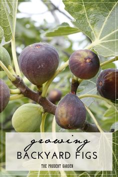 Growing your own figs is an easy way to start into home fruit production. Add these simple tips to an easy-to-grow crop and you're setup for success. #fruitgarden