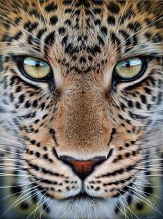 Most Beautiful Animals, Majestic Animals, Beautiful Cats, Beautiful Creatures, Animals And Pets, Baby Animals, Cute Animals, Big Cats Art, Tier Fotos