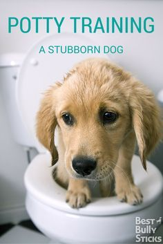 Learn how to potty train even the most stubborn dog!!