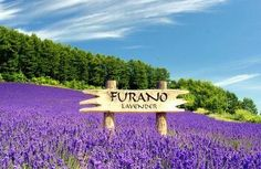 Lavender fields in Furano rival those of Provence in the South of France. The Japanese lavender growers in Central Hokkaido are just as creative in presenting new ways to enjoy it. Cool Places To Visit, Places To Travel, Places To Go, Lavender Garden, Lavender Fields, Lavander, Lavender Blue, Exotic Flowers, Beautiful Flowers