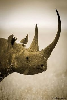 Did you know that there are five different species of rhinoceros? Apart from the two species native to Africa the famous Black Rhinoceros, White Nature Animals, Animals And Pets, Cute Animals, Wild Animals, Beautiful Creatures, Animals Beautiful, Beautiful Beautiful, Rhino Species, Endangered Species