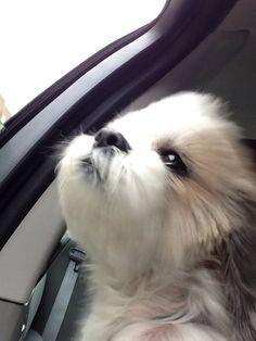Shih Tzu enjoying car ride!