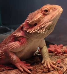 Vermithrax, bearded dragon