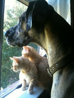 Great Dane watches over kittens!