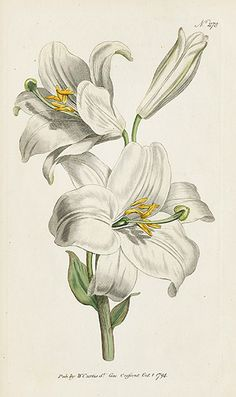 """White Lily means """"Purity, Sweetness"""" in the Victorian Language of Flowers. White Lilies, Day Lilies, Botanical Flowers, Botanical Prints, Lilies Drawing, Lily Painting, Illustration Blume, Botanical Drawings, Floral Illustrations"""