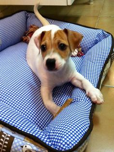 Jack Russell Terrier - 2 months I Love Dogs, Cute Dogs, Adorable Babies, Rat Terriers, Terrier Dogs, Jack Russell Puppies, Parson Russell Terrier, Jack And Jack, Baby Dogs